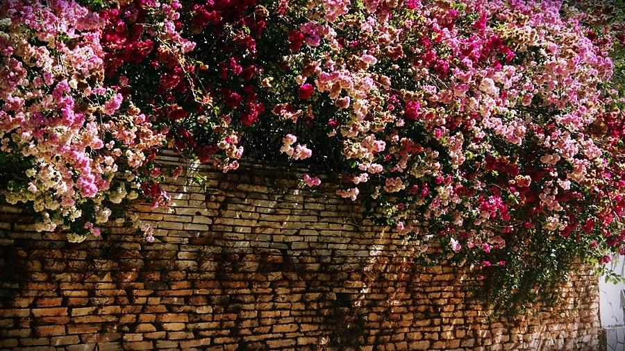 Buganvília - minhas flores preferidas